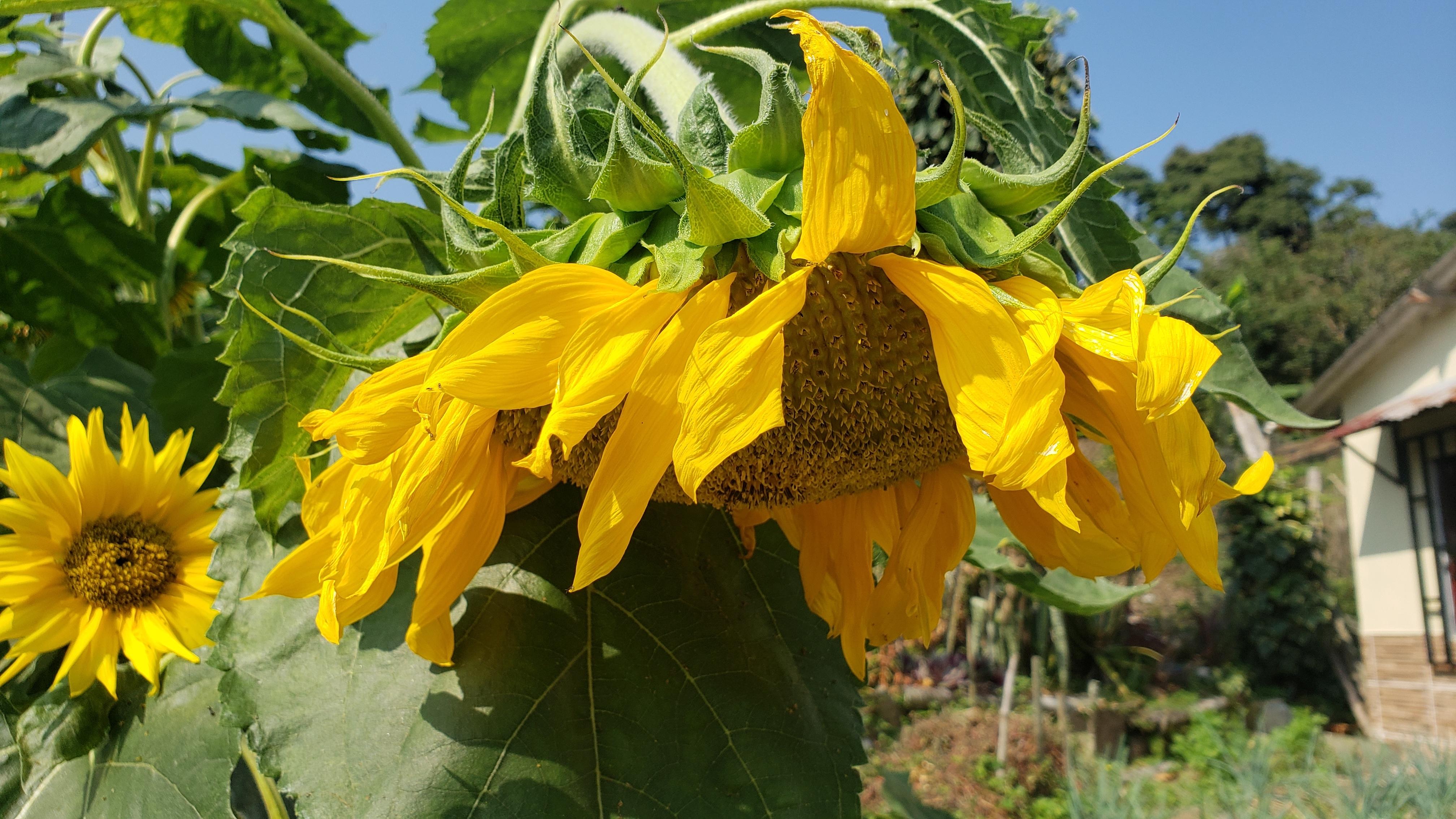 Cultivo de Semilla de Girasol, para Germinados.