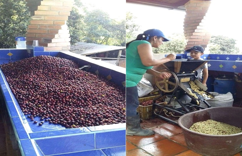 Selección de los granos, en el grado más óptimo de maduración, despulpado con maquina tradicional restaurada de más de 60 años de antigüedad.