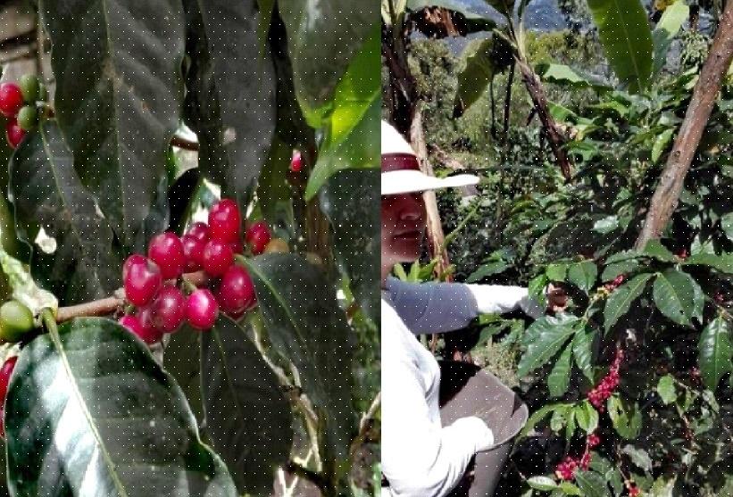 Estado óptimo de maduración del fruto, recolección controlada y consiente.