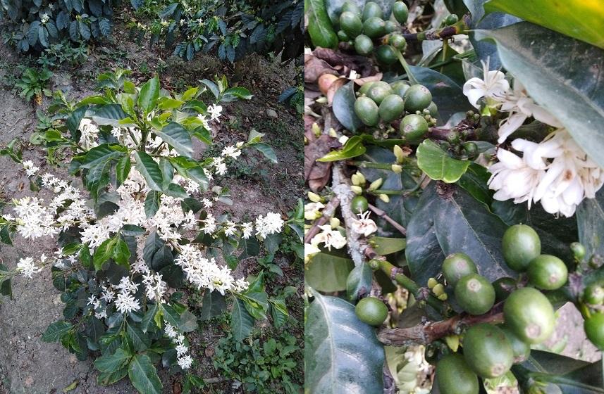 Etapa de floración y desarrollo de los  frutos.